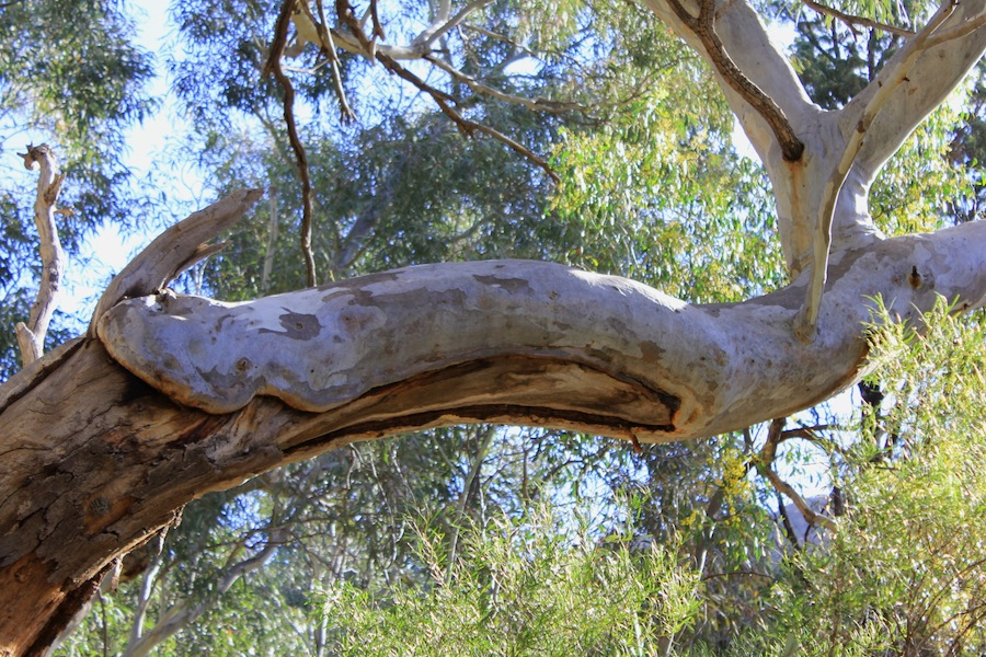 Red gum repair