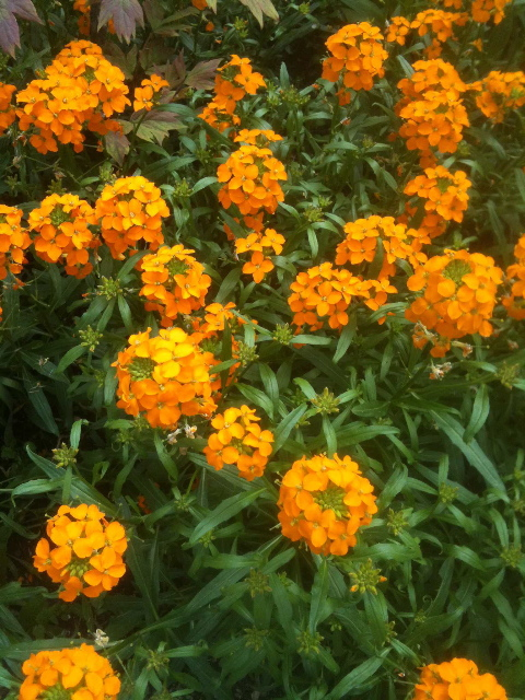 Fragrant wallflower