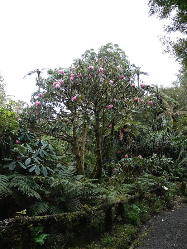 Rhododendron prostitum 'Pukeiti'