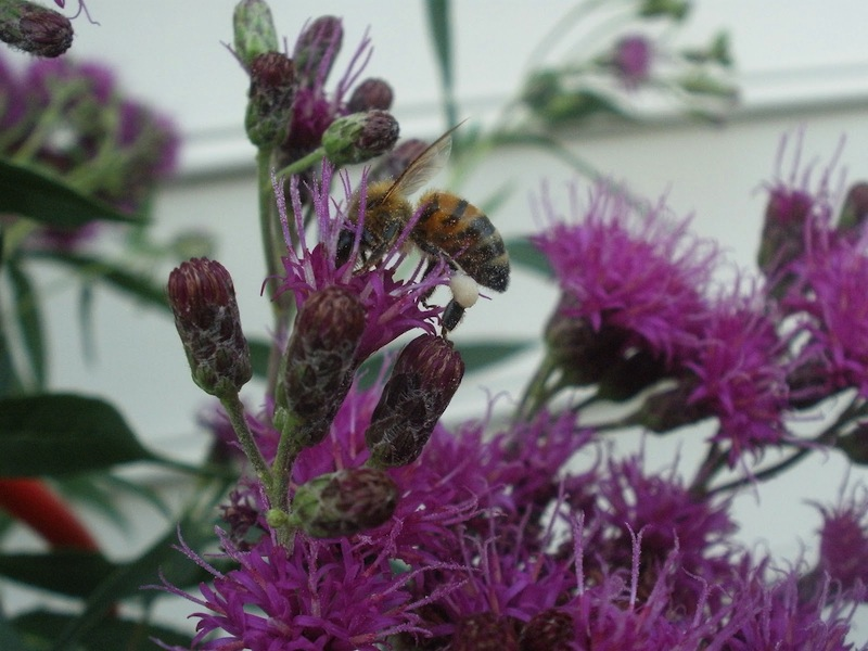 Honeybee on New York ironweed. Its back legs are full of pollen.