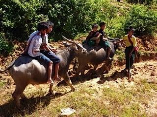 Kids tending water buffalo