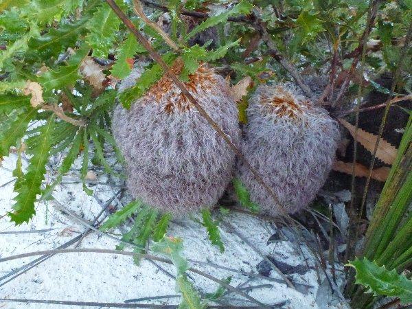 Teddy bear banksia, Banksia baueri