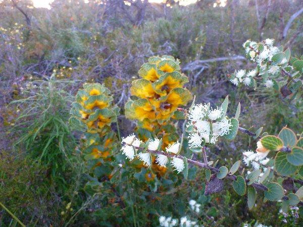Wildflowers in WA