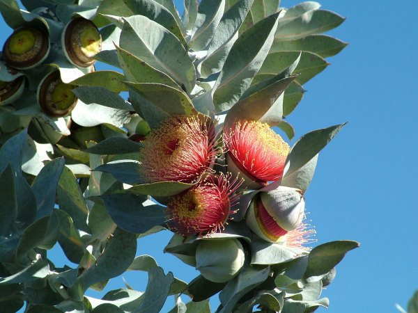 Rose of the West or mottlecah - Eucalyptus macrocarpa