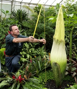 David Robbins at Melb RBG measures the titan arum - photo Januzs Molinski, courtesy of the Royal Botanic Gardens, Melbourne