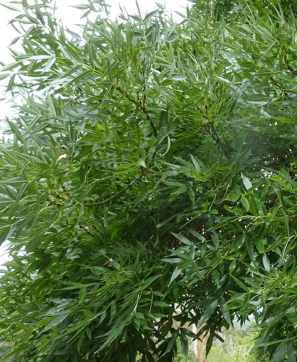 Healthy ash foliage