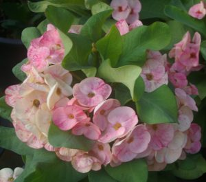 Poysean euphorbia marbled-cream-and-pink-cultivar