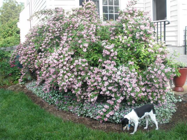 Tammy Schmitt Casa Mariposa - invertebrate garden - Deutzia PinkABoo