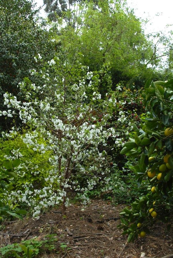 White spring blossom on the Kentish cherry