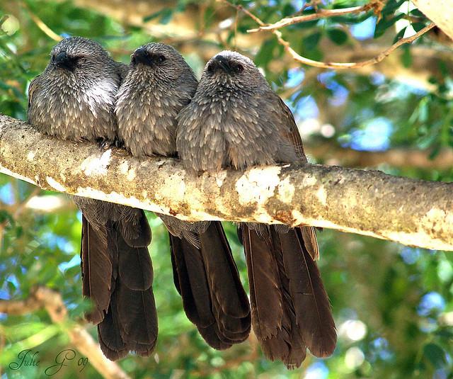 Apostle birds Photo Julie_g