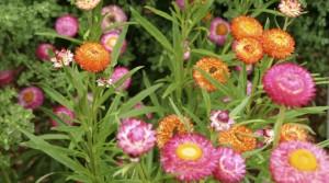 Australian paper daisies