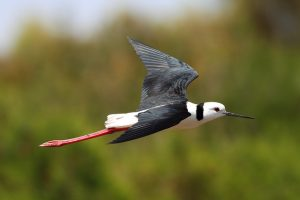 Black-winged stilt Photo Frankzed