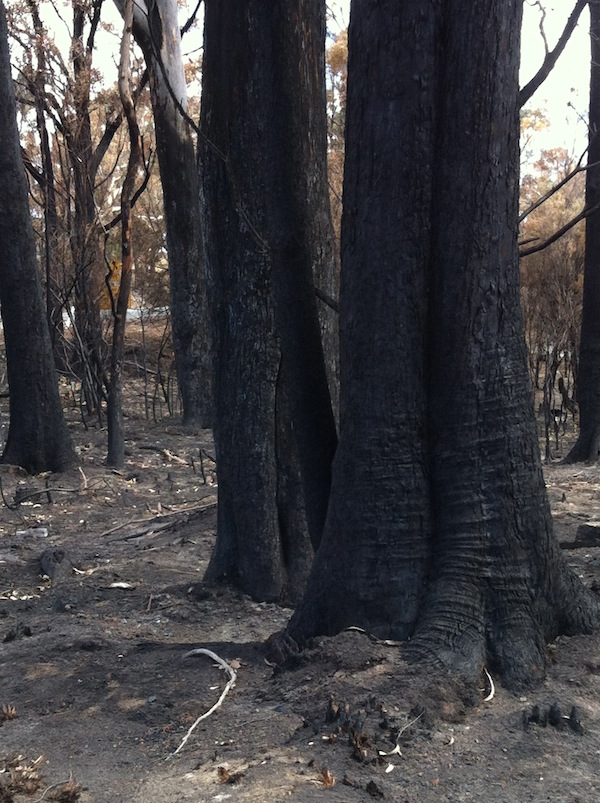 Blackened trees and thick ash bed left by bushfire
