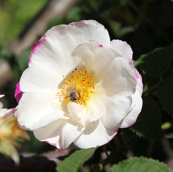 Rosa 'Hebe's Lip' in a Blind Bay garden