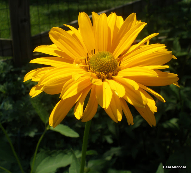 Heliopsis flower Photo by Tammy Schmitt Casa Mariposa
