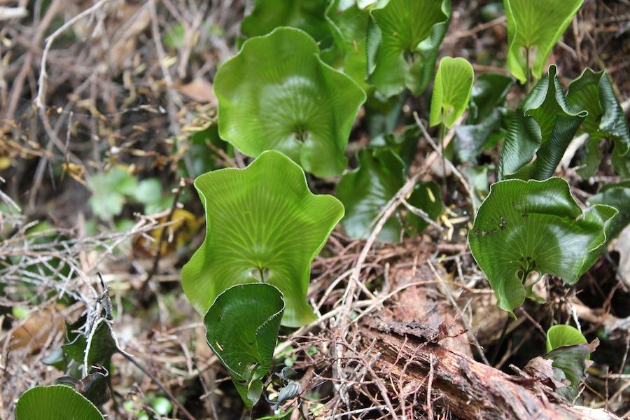 Kidney ferns Trichomanes reniforme