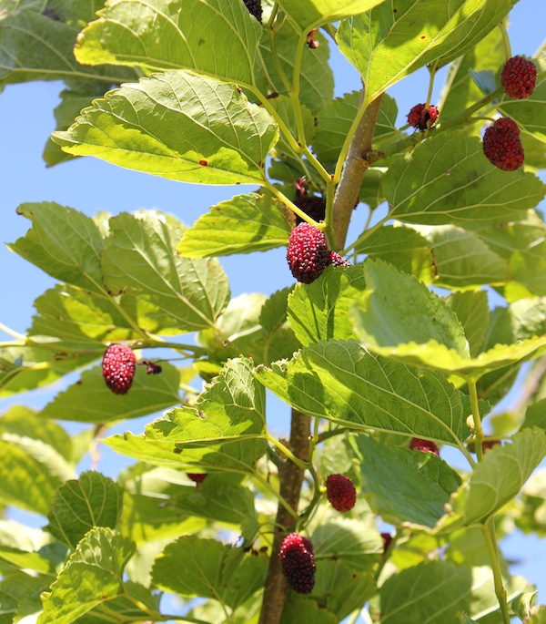 Mulberries in Emmy's garden