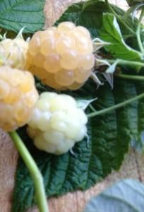 White raspberries at Wychwood