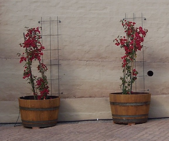 Bougainvillea 'Mrs Butt' in wine barrells