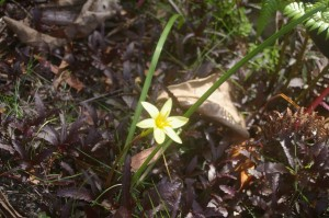 Zephyranthes primulinum with seedlings around it