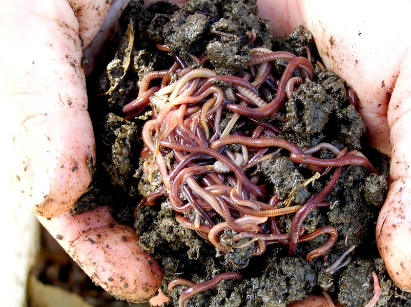 Compost worms