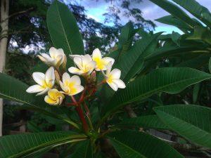 frangipani-cream