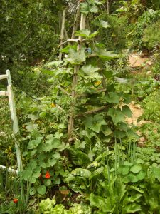 Beans, gem squash and tomatoes grow up the tripod with lettuce chard, other vegetables and nasturtiums around the base