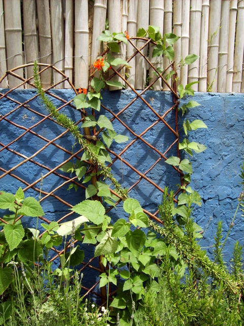 Bean runners on an arched trellis