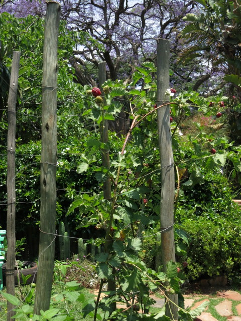 Use tripods for growing berries too