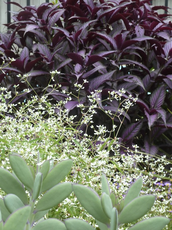 Euphorbia 'Diamond Frost' with Strobilanthes dyerianus and Senecio crassisimus