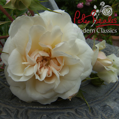 Peter Beale's Classic Roses Queens Jubilee rose