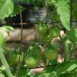 Plenty of Tommy Toe tomatoes still to ripen