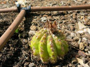 Parodia ottonis syn. Notocactus - Indian head