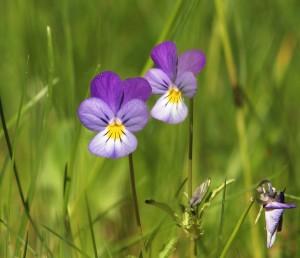 Viola tricolor - aka 'Kevin'