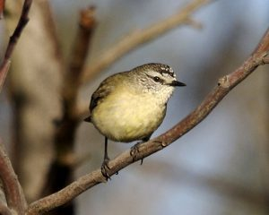 Yellow-rumped thornbill Photo by Lip Kee