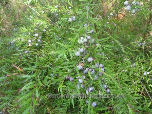 austromyrtus-dulcis-midyim-004