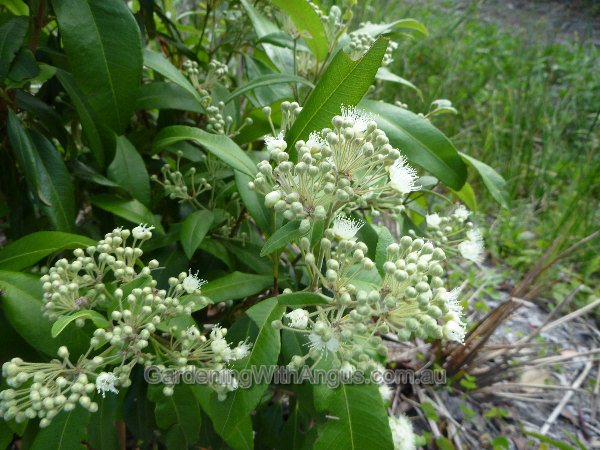 Top 5 edible bush tucker plants - GardenDrum