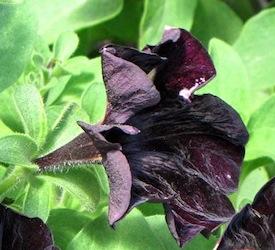 bumblebee petunia