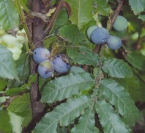 davidsons plum