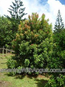 macadamia-integrifolia_macadamia-nut-003