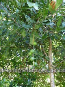 macadamia-integrifolia_macadamia-nut-004