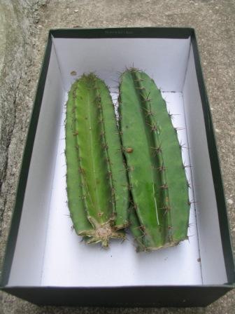 Cereus hexagagonus pieces bought from Andrew - Cactusland