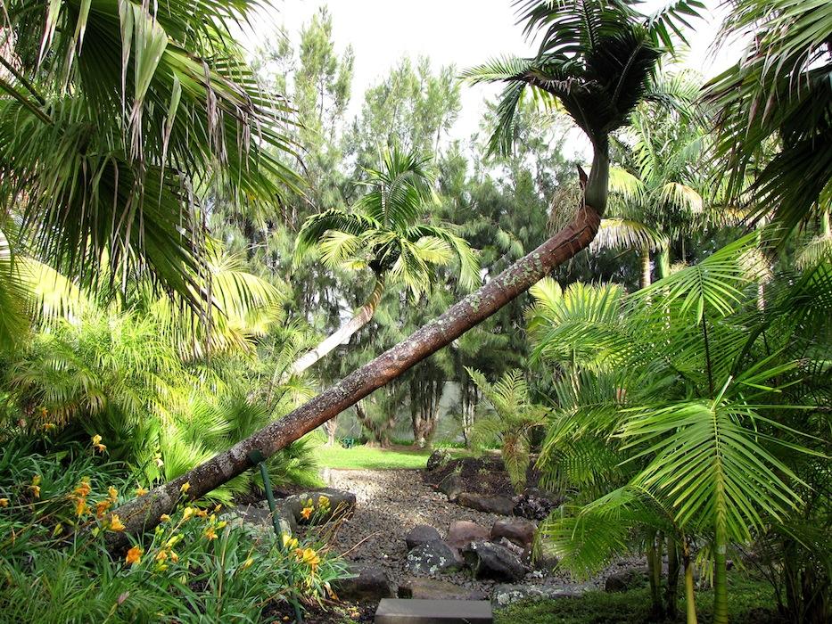 Bendy bangalow palms in the Palmco garden, Kerikeri
