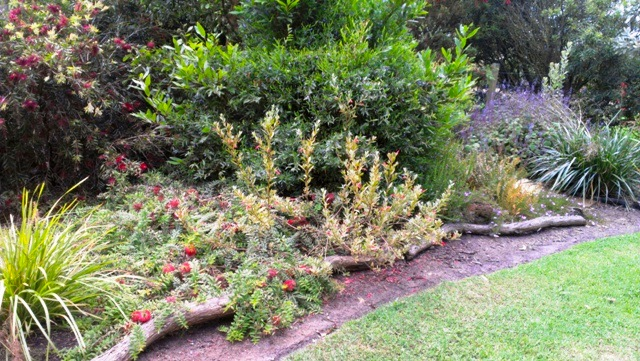 Bottom garden showing Melaleuca hypericifolia 'Uludullah Beacon', Eremopphila glabra, a blue plectranthus  and Callistemon 'Mary McKillop'