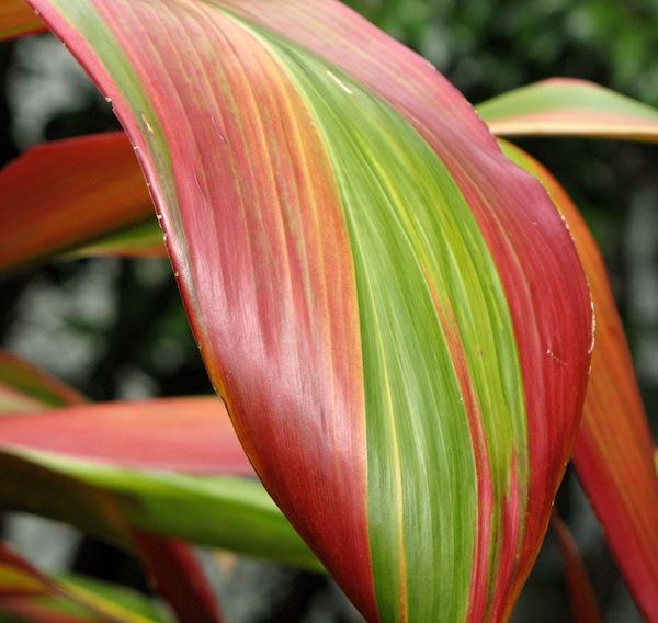 Cordyline fruticosa 'Fiji' in Wharepuke garden