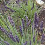 Dark purple tassel flowers on Stiburus alopecuroides