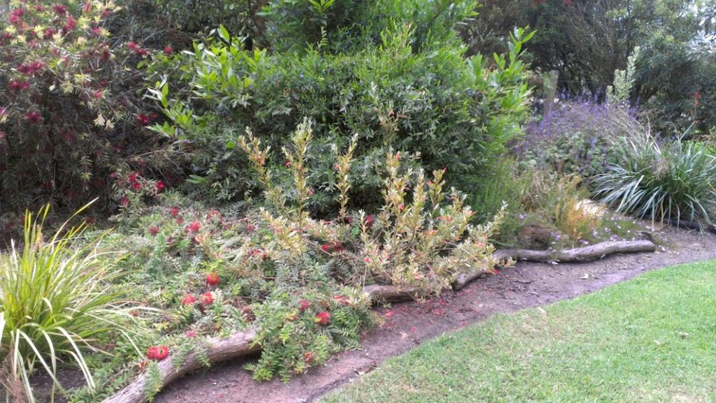 Lomandra Katrinus with Melaleuca and Eremophila