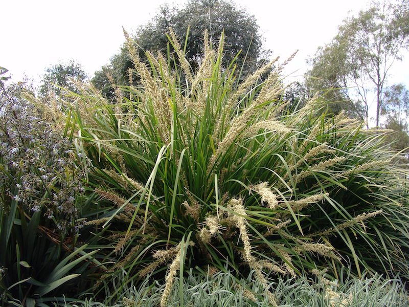 Lomandra 'Katrinus deluxe' Photo Ozbreed