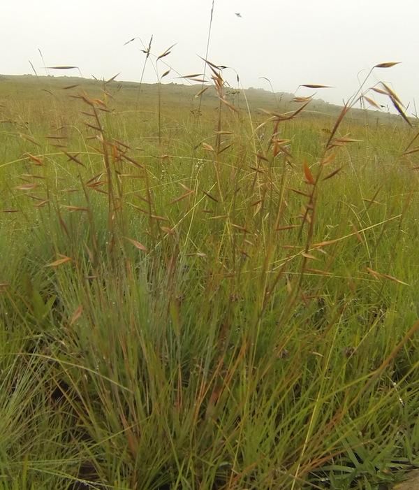 Decorative grass seedheads in the verloren vallei