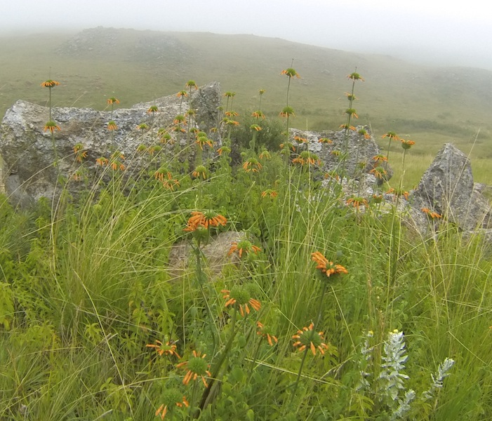 Leonotus ocymifolia in the morning mist